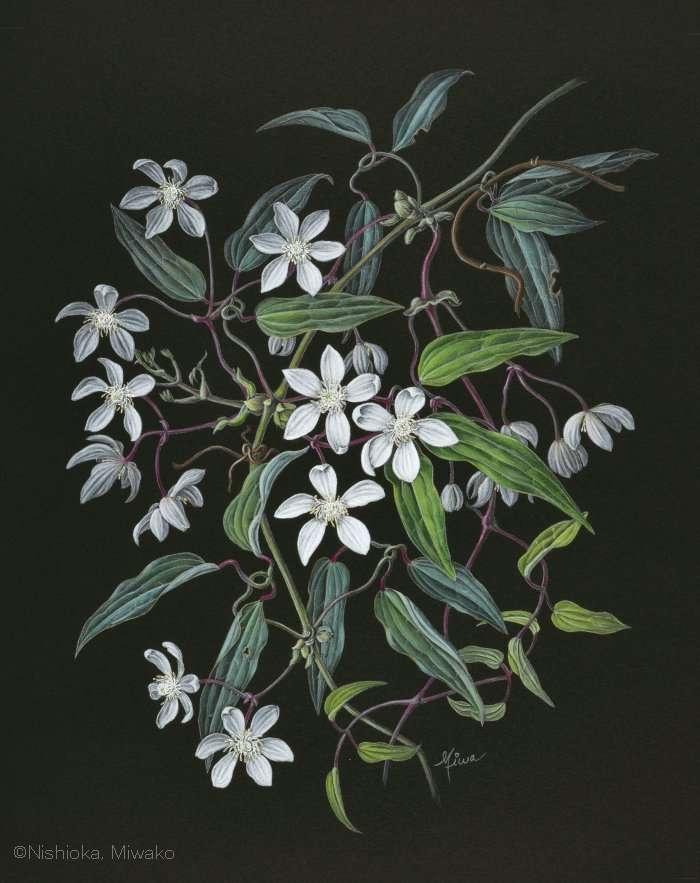 【西岡美和子:クレマチス アルマンディイ (キンポウゲ科) Clematis armandii】