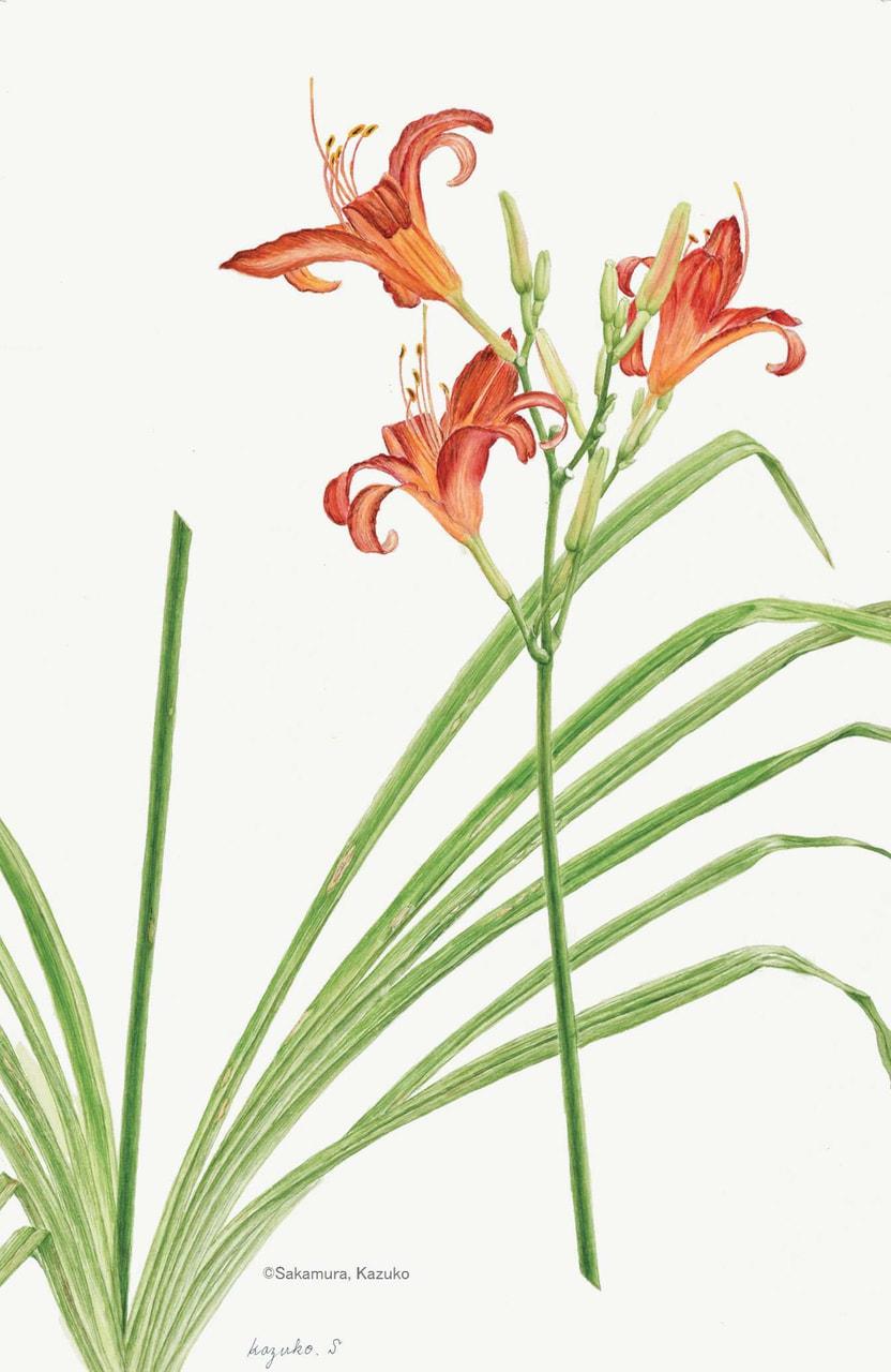 【坂村和子:ノカンゾウ (ワスレグサ科) Hemerocallis fulva var.disticha】