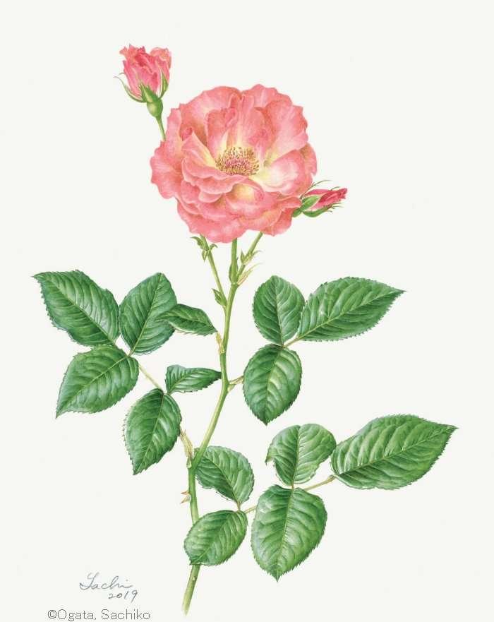 【尾形幸子:バラ  'クィーン エリザベス' (バラ科) Rosa  'Queen Elizabeth'】