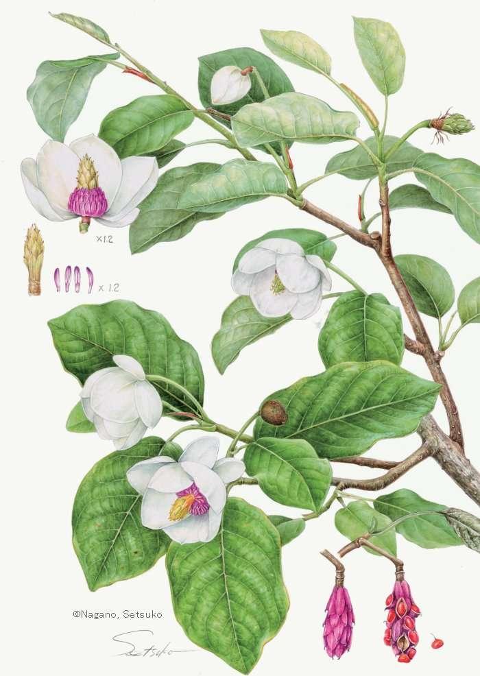 【永野節子:オオバオオヤマレンゲ (モクレン科) Magnolia sieboldii】