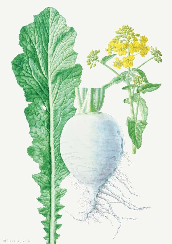 【田辺範男:スグキナ (酸茎菜) (アブラナ科)  Brassica  var. neosuguki 】