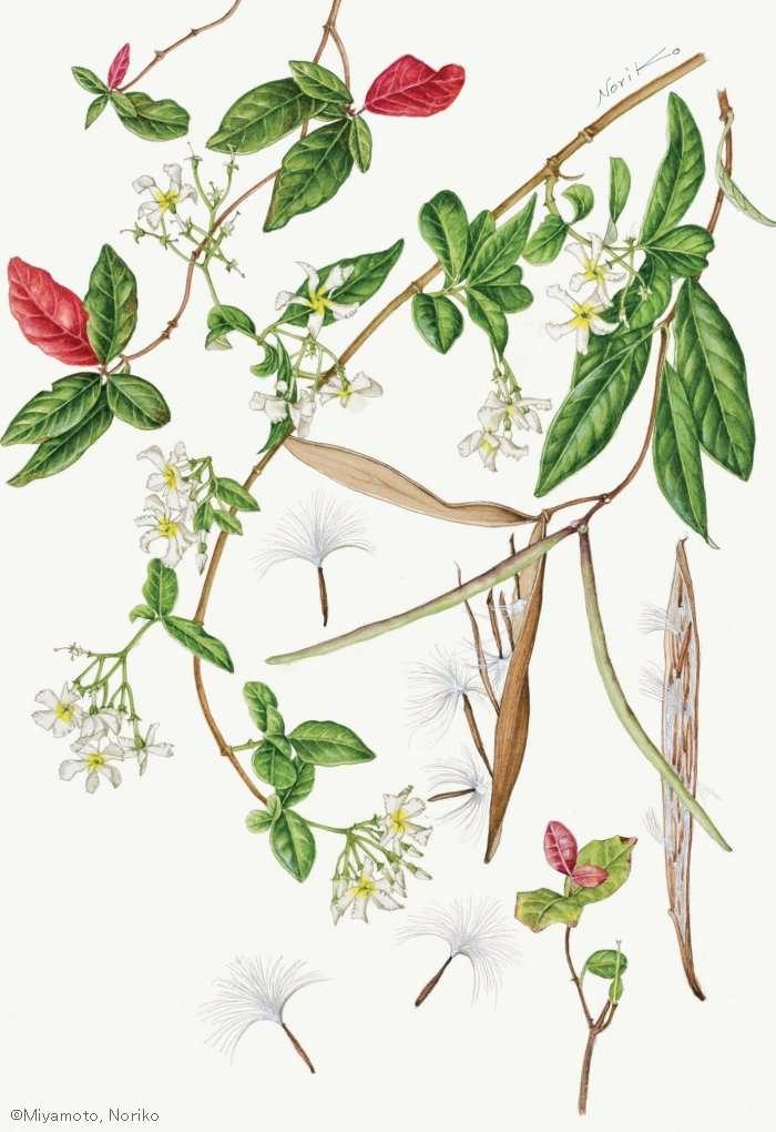【宮本紀子:テイカカズラ (キョウチクトウ科) Trachelospermum asiaticum】