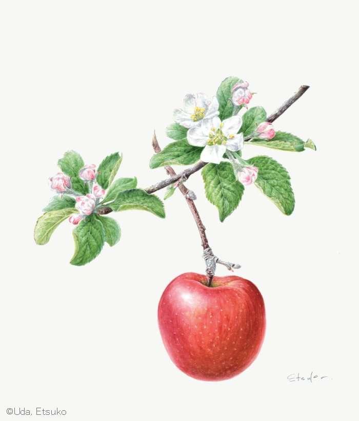 【宇田恵津子:リンゴ 'ふじ' (バラ科) Malus domestica 'Fuji'】