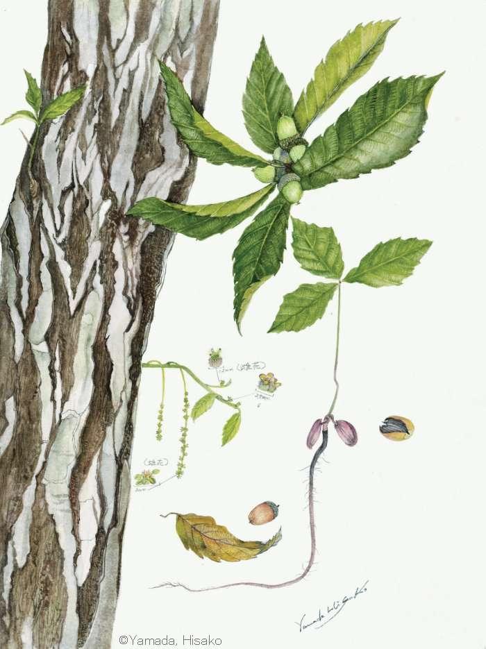 【山田ひさ子:コナラ (ブナ科) Quercus serrata var. serrata】