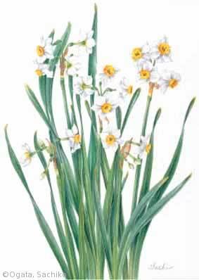 【尾形幸子:スイセン(ヒガンバナ科)Narcissus tazetta var. chinensis】