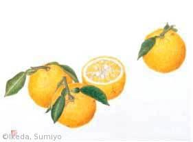 【池田純代:ユズ(ミカン科)Citrus junos】