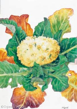 【小川みゆき:カリフラワー(アブラナ科)Brassica oleracea Botrytis Group】