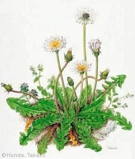 本田尚子 Honda, Takako - ギャラリー:日本植物画倶楽部