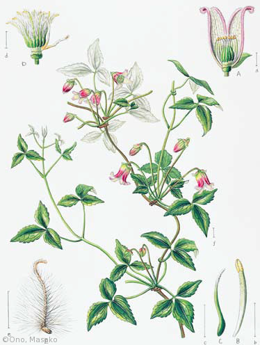 【小野正子:コウヤハンショウヅル(キンポウゲ科)Clematis obvallata var. obvallata】