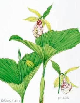 【阿部由紀子:クマガイソウ(ラン科)Cypripedium japonicum】