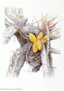 【石川美枝子:アケビカズラ(キョウチクトウ科(旧ガガイモ科))Dischidia rafflesiana】