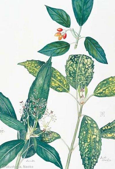 【福島南緒子:アオキ(斑入品は栽培品種)(ガリア科)Aucuba japonica】