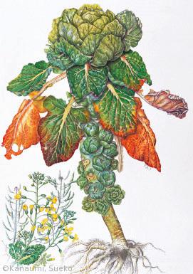 【金海すゑ子:メキャベツ(アブラナ科)Brassica oleracea L. Gemmifera Group】