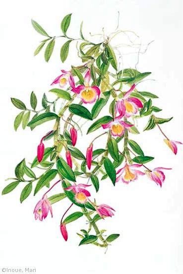 【井上眞理:デンドロビウム・ロッディジェシイ(ラン科)Dendrobium loddigesii】