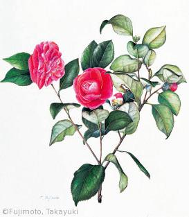 【藤本孝幸:ツバキ'紅乙女'(ツバキ科)Camellia japonic a L'. Ko-otome】