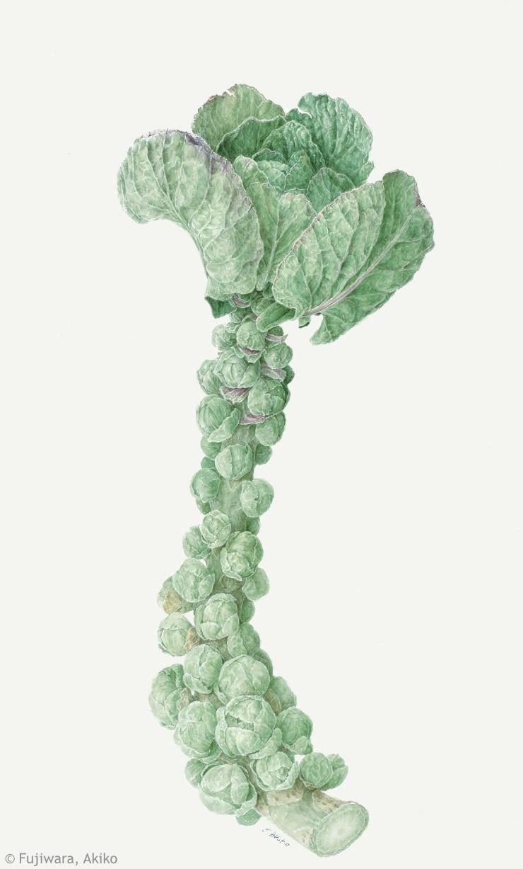 【藤原晶子:メキャベツ( アブラナ科) Brassica oleracea (Gemmifera Group) cv.】