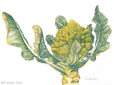 【古瀬栄子:カリフラワー 'ロマネスコ'(アブラナ科)Brassica oleracea (Botrytis Group) 'Romanesco'】