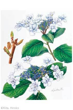 【北博子:ガクアジサイ'三原八重'(アジサイ科(旧ユキノシタ科)Hydrangea macrophylla f. normalis 'Mihara-yae'】