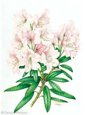 【源城素子:シャクナゲ(日本産)(ツツジ科)Rhododendron japonoheptamerum var.kyomaruense】