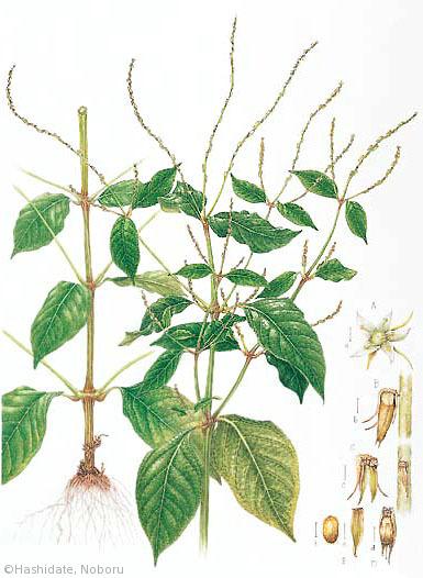 【橋立昇:ヒカゲイノコズチ(ヒユ科)Achyranthes bidentata var. japonica】