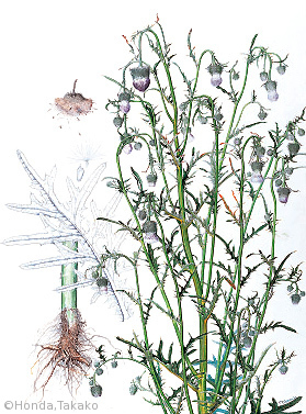 【本田尚子:シロバナタカアザミ(キク科) Cirsium pendulum Fisch. ex DC. f. albiflorum (Makino) Kitam.】