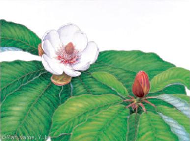 【丸山裕子:ホオノキ(モクレン科)Magnolia obovata】