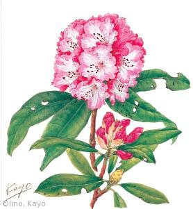 【飯野佳代:セイヨウシャクナゲ(ツツジ科)Rhododendron cv.】