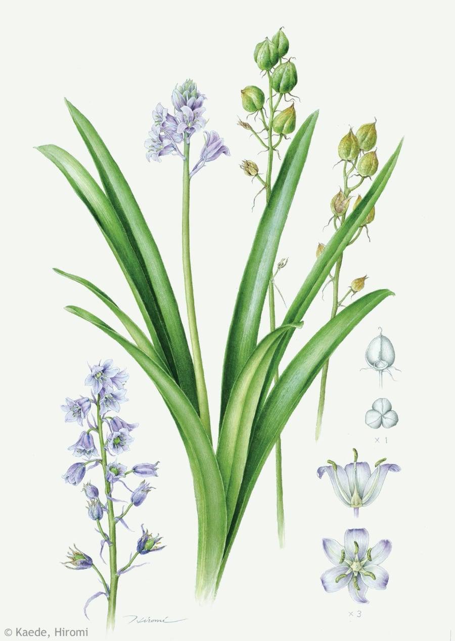 【楓ひろみ:ツリガネズイセン(キジカクシ科)Hyacinthoides hispanica】