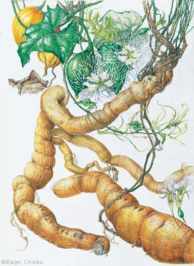 【影千恵子:キカラスウリ(ウリ科)Trichosanthes kirilowii var. japonica】