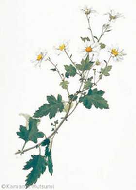 【鎌野睦:ノジギク(キク科)Chrysanthemum japonense】