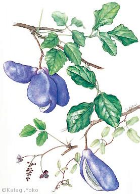 【堅木洋子:ミツバアケビ(アケビ科)Akebia trifoliata】