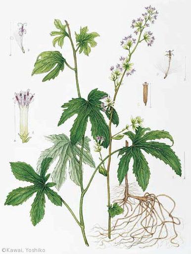 【川合芳子:モミジガサ(キク科)Parasenecio delphiniifolia】