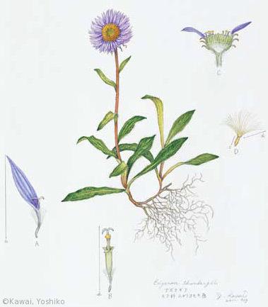 【川合芳子:アズマギク(キク科)Erigeron thunbergii subsp. thunbergii】