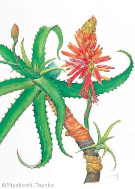 【宮腰とよ子:キダチアロエ(ツルボラン科(旧ユリ科))Aloe arborescens】