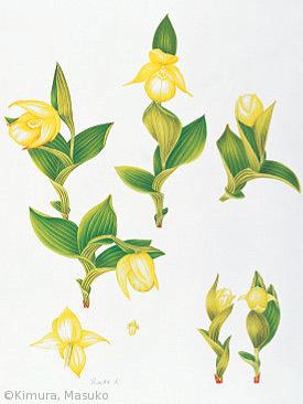 【木村萬寿子:レブンアツモリソウ(ラン科) Cypripedium macranthon Sw. var. rebunense (Kudo) Miyabe & Kudo】