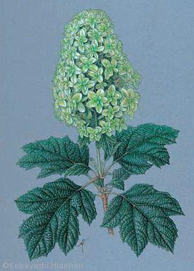 【小林英成:ヤエカシワバアジサイ(アジサイ科(旧ユキノシタ科)Hydrangea quercifolia(double form) 】