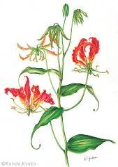 【近藤京子:グロリオサ(イヌサフラン科)(広義のユリ科)Gloriosa superba L.】