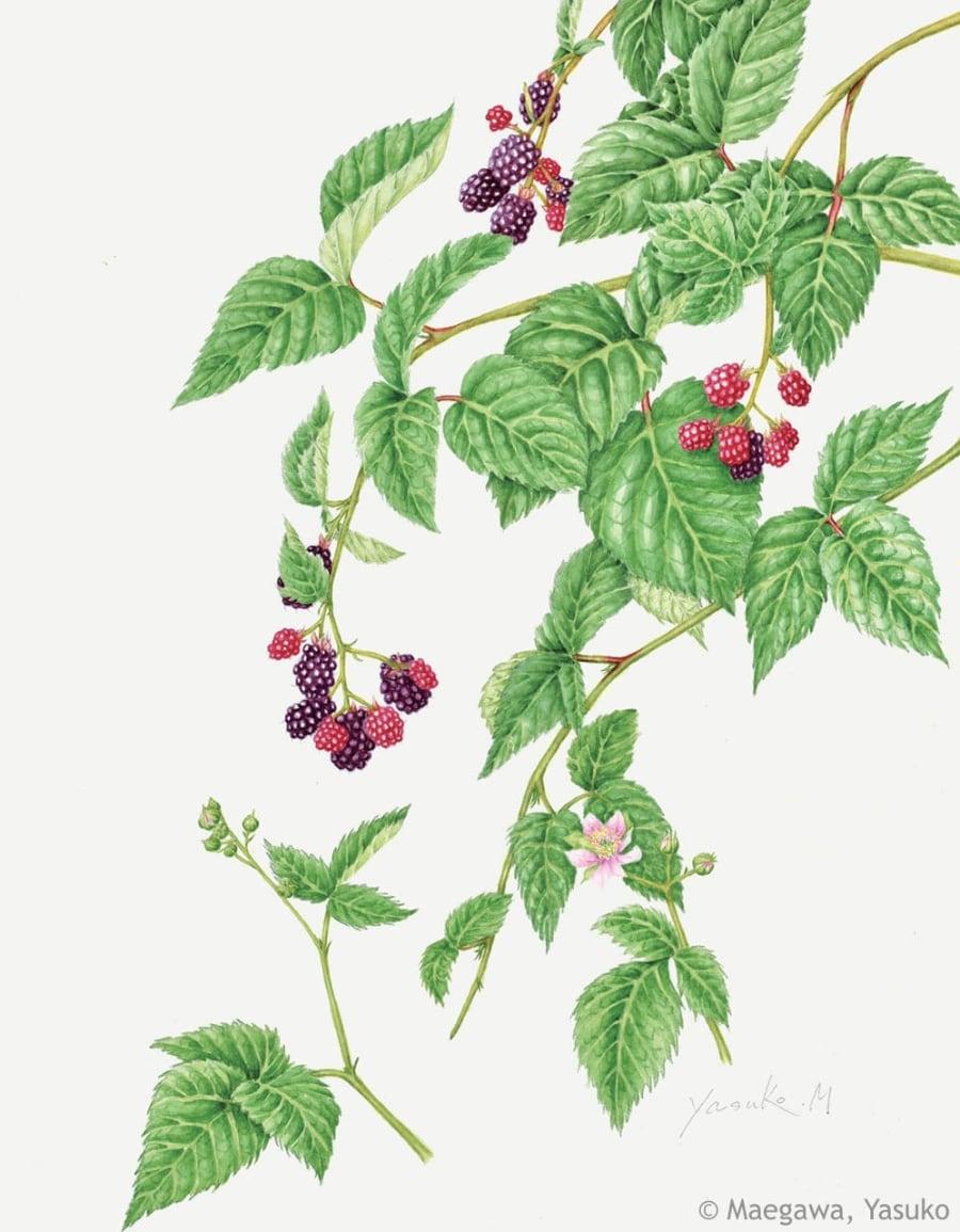 【前川恭子:ブラックベリー(バラ科) Rubus cv. (Blackberry) 】