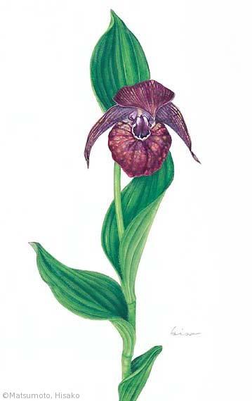 【松本久子:ホテイアツモリソウ(ラン科)Cypripedium macranthon var. hotei-atsumorianum】