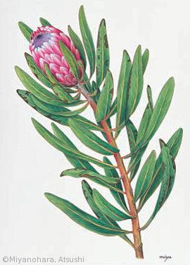 【宮之原篤:プロテア・ネリイフォリア(ヤマモガシ科)Protea neriifolia】