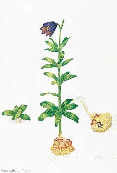 【中島リエ子:クロユリ(ユリ科)Fritillaria camtschatcensis】