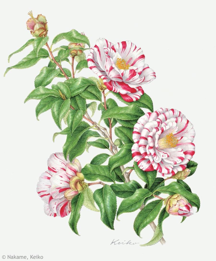 【中根啓子:ツバキ '絵日傘' (ツバキ科)Camellia japonica 'Ehigasa'】