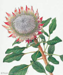 【中瀬美絵:プロテア・キナロイデス(ヤマモガシ科)Protea cynaroides】