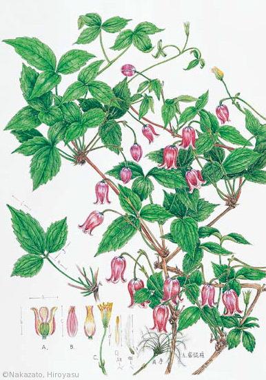 【中里博康:ハンショウヅル(キンポウゲ科)Clematis japonica】