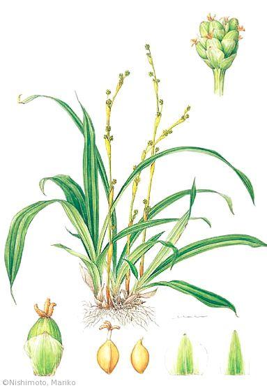 【西本眞理子:ササノハスゲ(カヤツリグサ科)Carex pachygyna】
