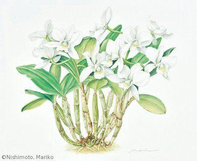 【西本眞理子:キャトリィア オブライエニアナ 'アルバ'(ラン科)Cattleya obrieniana 'Alba'】