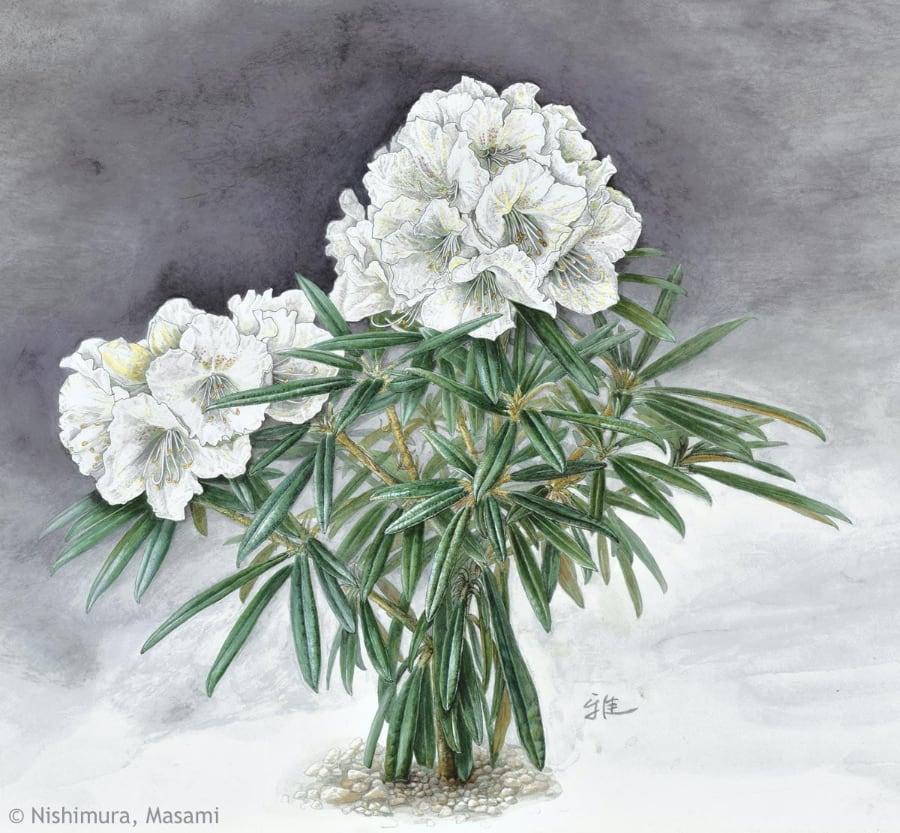 【西村雅美:シロバナホソバシャクナゲ(ツツジ科)Rhododendron makinoi f. leucanthum】