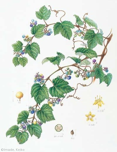 【今出恵子:ノブドウ(ブドウ科)Ampelopsis glandulosa var. heterophylla】