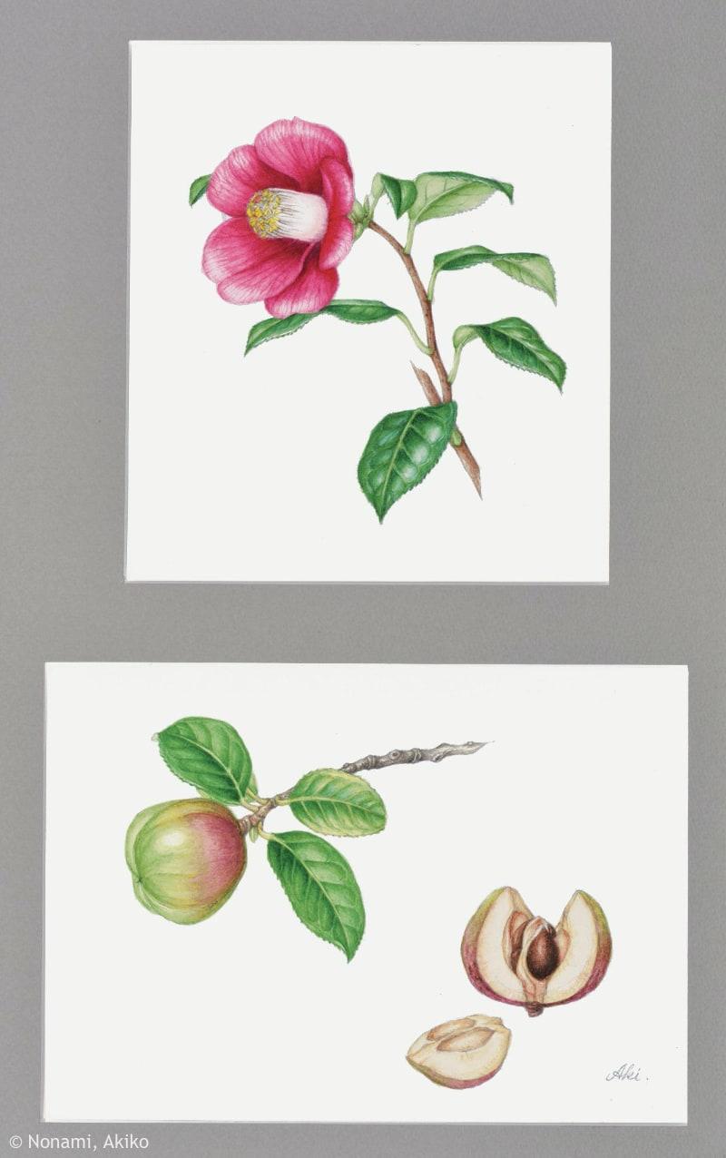 【野浪章子:ヤブツバキ(ツバキ科)Camellia japonica】