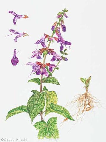 【岡田博:アキギリ(シソ科)Salvia glabrescens】